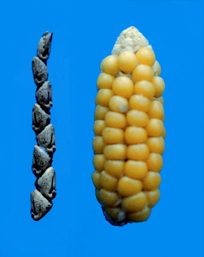 teosinte and maize cobs