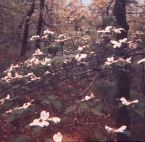 A very old image of dogwoods in the East Texas Piney Woods