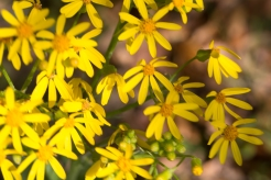 Texas groundsel
