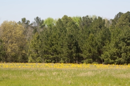 A field full of Texas groundsel