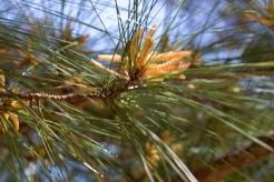 Loblolly pine catkins