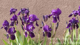 Irises against an adobe wall