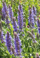 May Night meadow sage (salvia nemorosa)