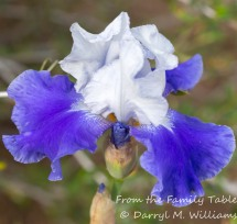 Blue and white iris