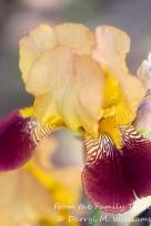 Two-toned iris