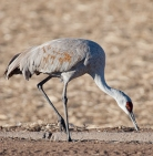 The elegant sand hill crane