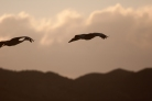 Sand hill cranes settling in for the night on the wetlands