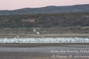 Snow geese safe in their pond waiting to depart.