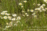 Clump of daisies