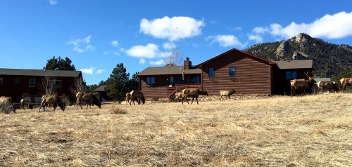 Elk herd grazing in the subdivision