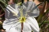White evening primrose