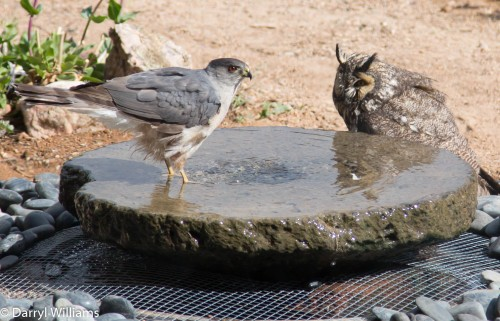 Hawk and owl in a water standoff