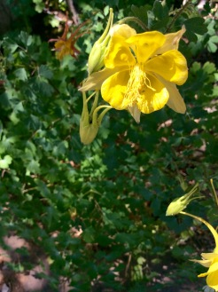 Yellow and Rocky Mountain columbines