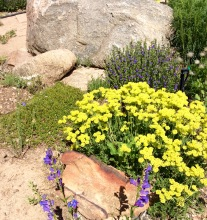 Buckwheat, penstemons and boulders in the back yard