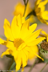Maximillian daisy
