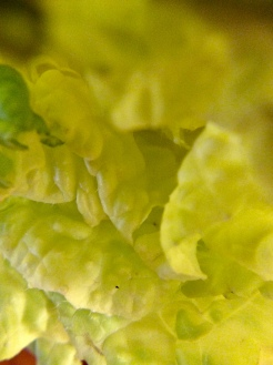 Closeup napa cabbage